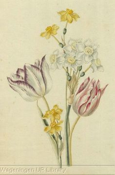 Spring flowers from Konstboeck collected by Simon Schijnvoet. Botanical illustrations by Catharina Lintheimer, Alida Withoos, Pieter Withoos, Johannes Bronckhorst and Pieter Holsteijn.  Source -Wageningen UR Library
