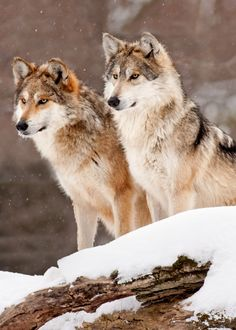 Tag team. #Wolves (by Scott Denny)