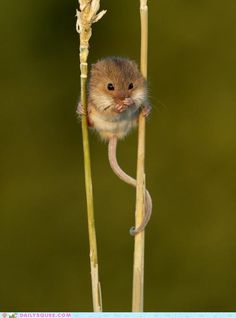 The harvest mouse surveys his land: Britain's smallest rodent uses straw as…