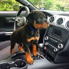 my cute #rottweiler puppy dog Always curious ;-))) - Tap the pin for the most adorable pawtastic fur baby apparel! You'll love the dog clothes and cat clothes! <3