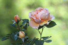 Róża, Pąki