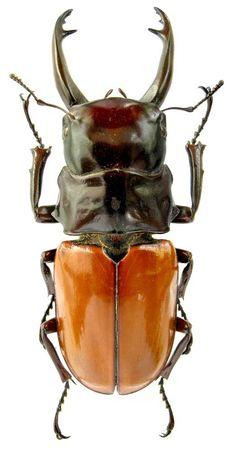Odontolabis saracinorum Heller, 1898