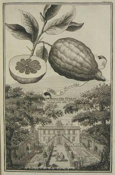 """Johann Christoph Volckamers """"Nürnbergische Hesperides"""". Antique botanical citrus illustration."""
