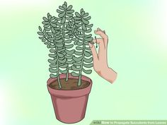 Propagate Succulents from Leaves