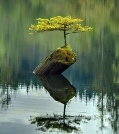 DEATH BEGETS LIFE Photograph by Ireena Worthy we see a small fir tree (which has become a bonsai) growing atop a dead log in the waters of Fairy Lake, which is near Port Renfrew on Vancouver Island in British Columbia, Canada. British Columbia, Bonsai For Beginners, Tree Logs, Fir Tree, Lone Tree, Growing Tree, Growing Plants, Vancouver Island, North Vancouver