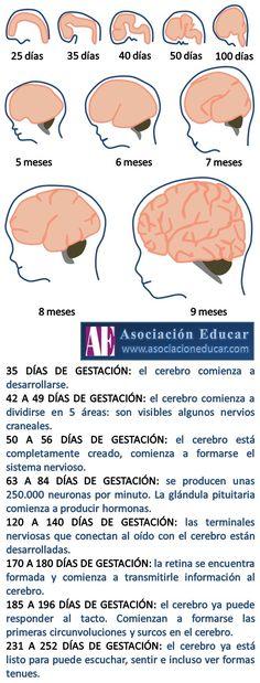 Ilustración de uso libre, sólo se pide citar la fuente (Asociación Educar). 35 DÍAS DE GESTACIÓN: el cerebro comienza a desarrollarse. 42 A 49 DÍAS DE GESTACIÓN: el cerebro comienza a dividirse en 5 áreas: son visibles algunos nervios craneales. 50 A 56 DÍAS DE GESTACIÓN: el cerebro está completamente creado, comienza a formarse el sistema nervioso.