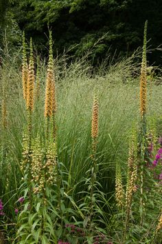 Digitalis ferruginea - hard to find here in plants, maybe try seed