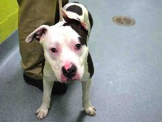 A1037865.j/ Yosemite Sam, 1 year old stray...poor little guy , looks scared to death..which could very well happen ! NYC DISCARDED PUP / NYC DEATH LIST