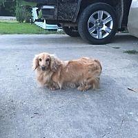 Baton Rouge Louisiana Dachshund Meet Susana A For Adoption Https Www Adoptapet Com Pet 21807602 Baton Rouge Louisi Dachshund Breed Dachshund Clever Dog