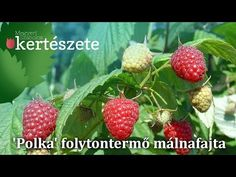 Málna - általános tudnivalók, metszése, ültetése - YouTube