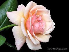 Pink yellow white rose