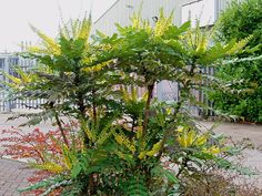 Mahonia, un bel arbuste parfumé persistant et fleuri en hiver                                                                                                                                                                                 Plus