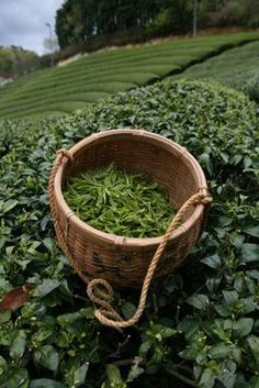 Delicious tea, harvested by hand in Yunnan China!#china #delicious #hand #harvested #tea #yunnan