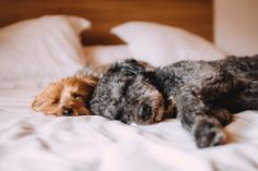 Some Helpful Ideas For Training Your Dog. Loving your dog does not mean you are willing to let him go hog wild on your possessions. That said, your dog doesn't feel the same way. Dog Sleeping In Bed, Trouble Sleeping, Dog Friendly Hotels, Golden Retriever, Training Your Dog, Training Tips, Training Exercises, Dog Care, Dog Friends