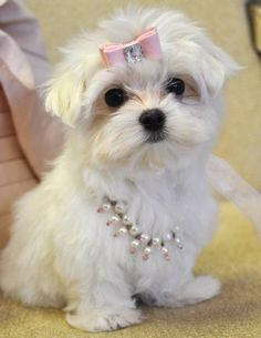 oh my goodness - how cute is a pearly puppy??