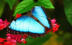 nature insects blue morpho red flowers butterflies 2560x1600 wallpaper ...