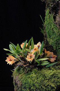 Dendrobium vexillarius var. microblepharum