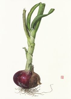 Asuka Hishiki Red Onion Allium cepa 14 x 10 watercolor on paper Botanical Drawings, Botanical Prints, Floral Illustrations, Illustration Art, Vegetable Illustration, Illustration Botanique, Watercolor Fruit, Nature Drawing, Plant Art