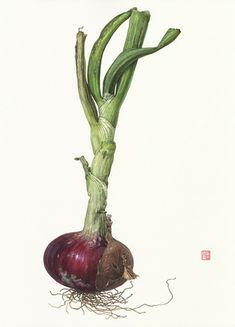 Asuka Hishiki Red Onion Allium cepa 14 1/2 x 10 3/4   watercolor on paper