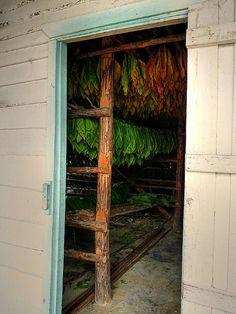 Cuba Tobacco Drying