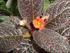 Episcia 'Choclate Cream' - I was given a few leaves at the DAVS Convention in Atlanta.   Plants or stolens are available.