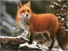 uma raposa vermelha via belas imagens