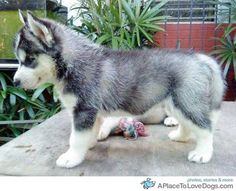 A pomeranian husky mix. They're like mini huskies and are about the size of a puppy all of their life. Adorable!
