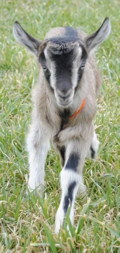 ► Baby goat Jericho walking through the field. Read his birth story: http://gmsoap.co/1neq3SM #goats #GMSkids #familybusiness