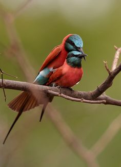 Northern Carmine Bee-eater (Merops nubicus) Нубийская щурка