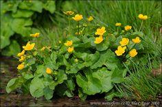 Blatouch bahenní (Caltha palustris) je bylina z čeledi pryskyřníkovitých