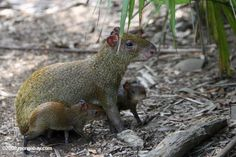 Mother Agouti (Dasyprocta punctata) with babies in Belize. Photo by: Rhett A. Butler.