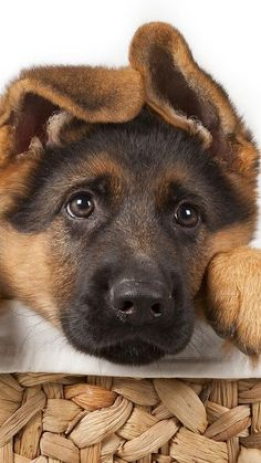 German Shepherd Puppy                                                                                                                                                                                 More