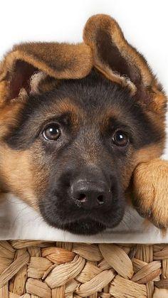 German Shepherd Puppy                                                                                                                                                                                 More
