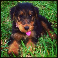 My Sweet, Tallulah. Airedale Terrier Puppy, 7 weeks.
