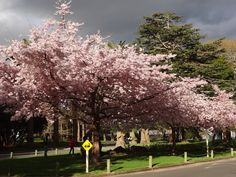 Cherry Blossom  Victoria Esplanade - Palmerston North, NZ Going Home, Cherry Blossom, New Zealand, Past, Scotland, Flora, Landscapes, Scenery, Paisajes