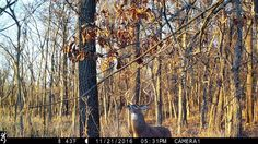 Camping Photography, Wildlife Photography, Whitetail Deer Pictures, Trail Camera, Deer Print, Simple Photo, Wildlife Art, Deer Hunting, Landscape Photos
