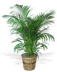 Palm Plant This tropical palm enjoys moderate to bright light. Although its leaves arch romantically downward, it's sure to uplift any home or office. One areca palm plant arrives in a rattan pot cover. Outdoor Plants, Potted Plants, Garden Plants, Outdoor Gardens, Buy Plants, Plants Indoor, Hanging Plants, Areca Palm Plant, Herb Garden