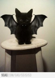 Bat-Cat: Ready for Halloween