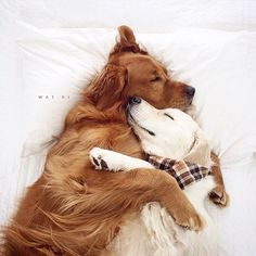 When all you wanna do is cuddle with babe on a lazy Sunday @wat.ki by ilovegolden_retrievers #lacyandpaws
