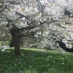 Underneath the Great White Cherry. Looking superb considering it was snowing! #cherryblossom #cherry #prunus #garden #gardenvisitor #landscape #capabilitybrown #views #dogfriendly #trees #sliceofheaven