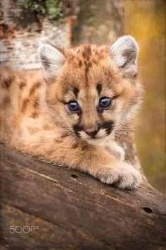 Sweet Nina - 6 week old Mountain Lion kitten looks down from branch (captive)
