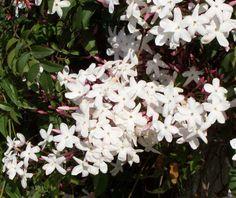 white jasmin 2