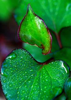 Emerald green leaves with mist and dew drops.