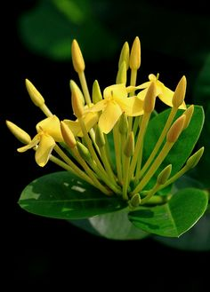 Ixora coccinea, Flame of the Woods, Jungle Flame, Jungle Geranium