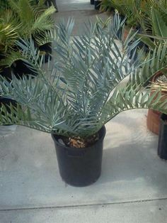 Image from http://www.junglemusic.net/New%20Plant%20Arrivals/Images/Encephalartos%20trispinosus,%2015g,%208%20inch%20(2)%20(Small).jpg.