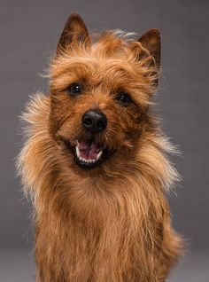 Australian Terrier, © photograph  by Robert Clark