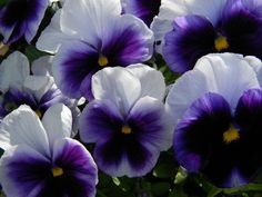 Beautiful purple pansies!