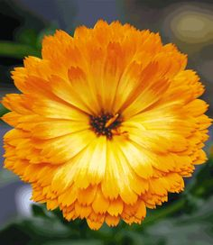 Part of the Calendula Winter Wonders collection, Calendula Amber Arctic blooms 12 months a year and doesn't mind a bit of ice and snow. Two of these will inhabit a copper bucket planter each.
