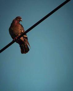 おはよーございます。  ちょと寒い晴れ朝。 ハードボイルドな表情の鳩は 単に寒いだけかもしれないけれど。  この秋一番の冷え日だそうです。 温かくして。 でもって佳い月曜日を。   #sky #autumn #pigeon #bird #空 #秋 #鳩 #鳥