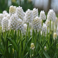 White Magic is more a Muscari to use for pots and planters. Of course, in the garden she will also perform well, but when you want to plant a white Muscari for colour impact the Muscari armeniacum Venus does a better job. The Muscari aucheri White Magic i Gladiolus Bulbs, Daffodil Bulbs, Tulip Bulbs, Bulb Flowers, Daffodils, White Flowers, Beautiful Flowers, White Orchids, Las Vegas